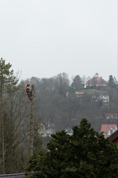 Baumfällung als Meterholz