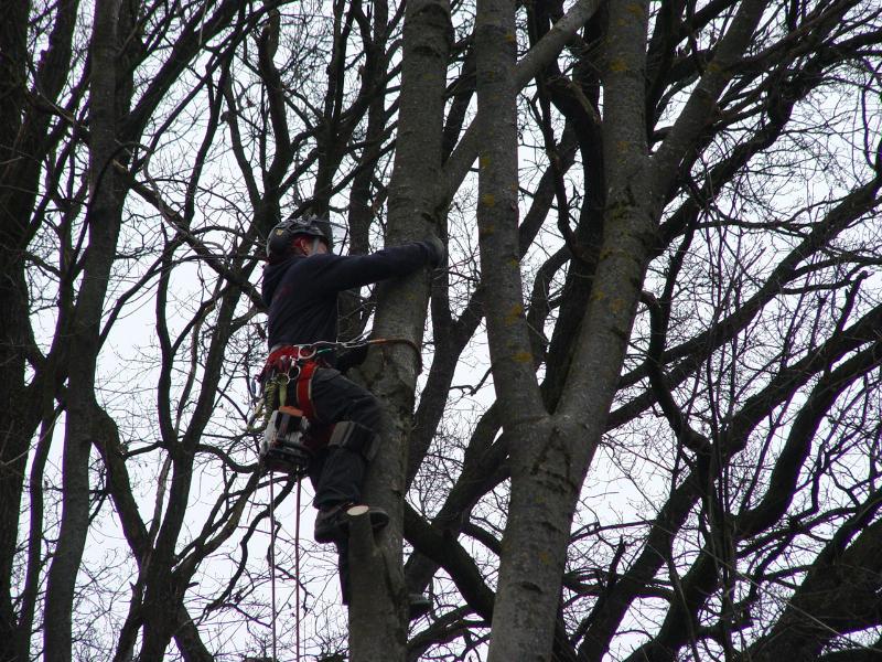Besteigung des Baumes mit Professioneller Sicherungstechnik
